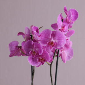 Phalaenopsis Orchid in Cream Pottery