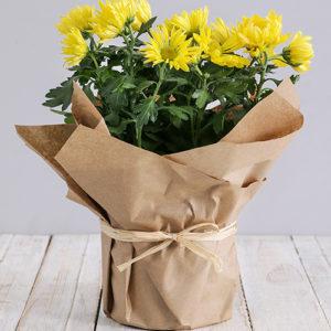 Chrysanthemum Plant in Craft Paper