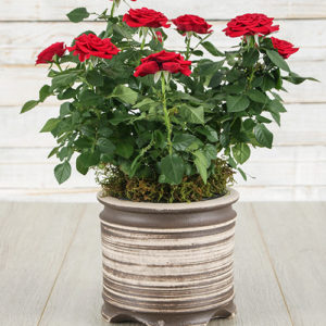 Red Rose Bush in Ceramic Pot