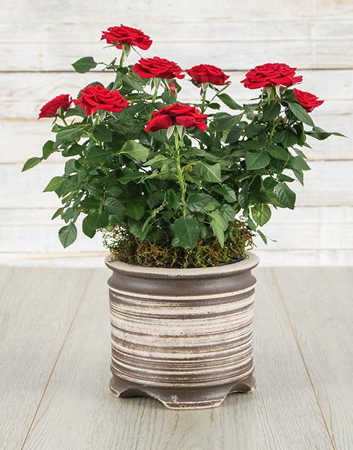 Red Rose Bush in Ceramic Pot