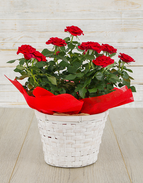 Red Rose Bush in Planter