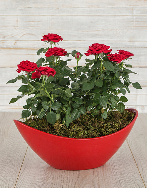Red Rose Bush in Red Boat Vase