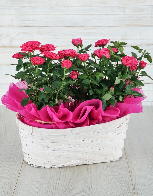 Cerise Rose Bush in Planter