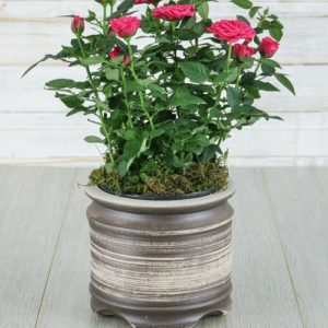 Cerise Rose Bush in Ceramic Pot
