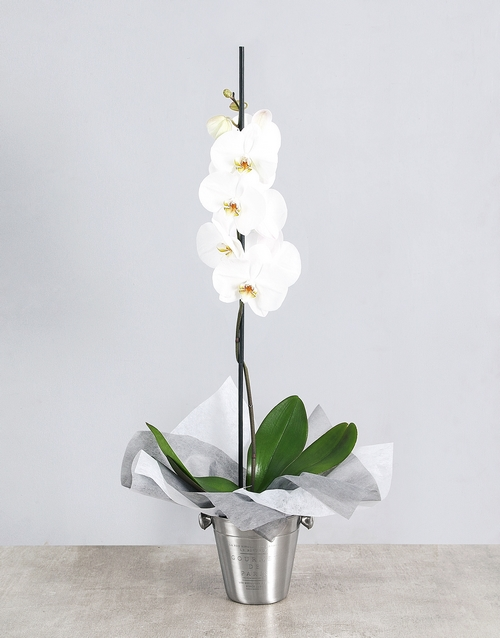 White Phalaenopsis Orchid in Ice Bucket
