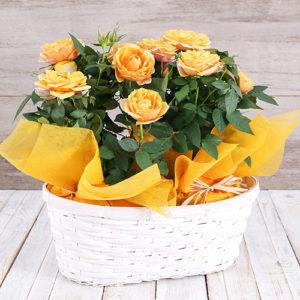 Yellow Rose Bush in Planter