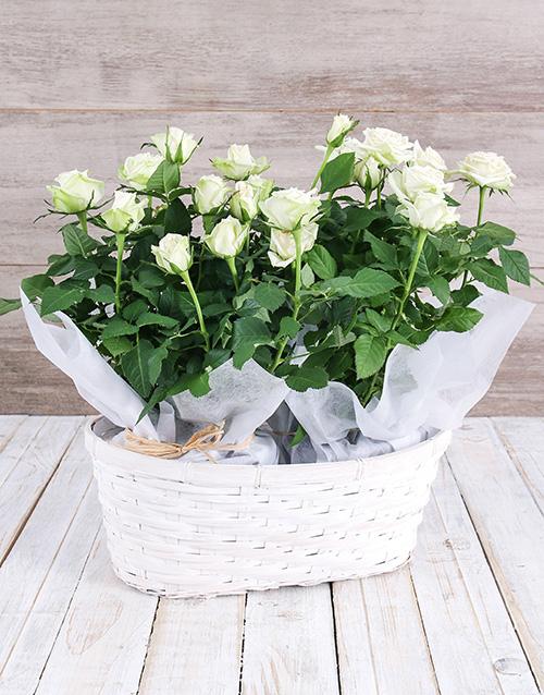 White Rose Bush in Planter