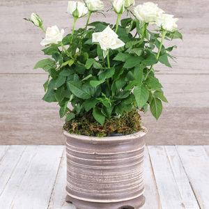 White Rose Bush in Ceramic Pot