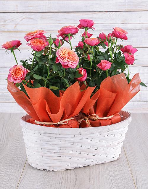 Orange Rose Bush in Planter