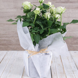 White Rose Bush in Wrapping