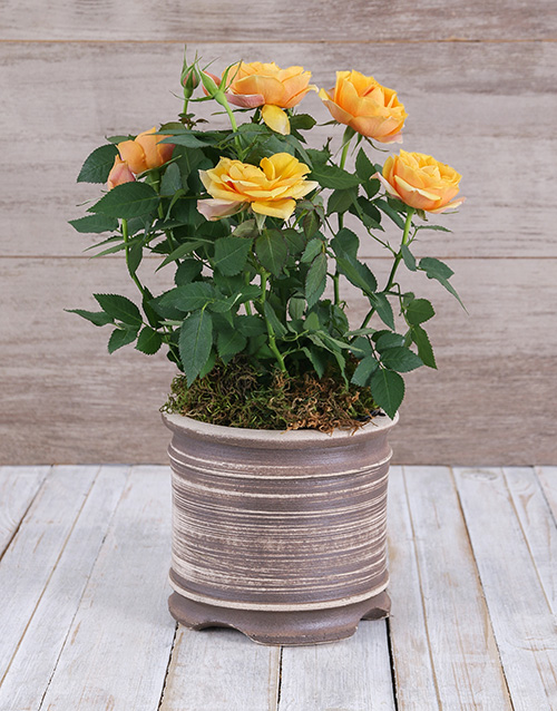 Yellow Rose Bush in Ceramic Pot