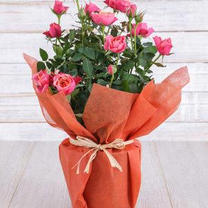 Orange Rose Bush in Wrapping