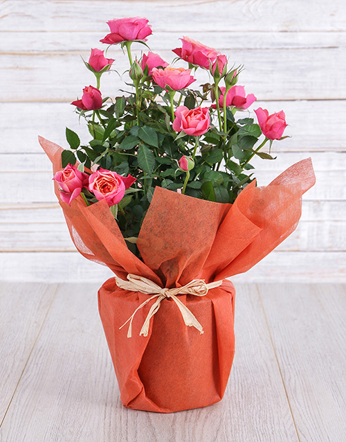 Orange Rose Bush in Wrapping