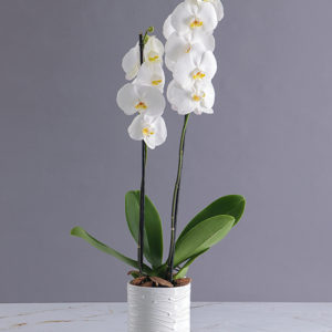 Orchids in a Glazed Vase