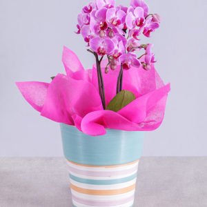 Midi Pink Orchid in Striped Vase