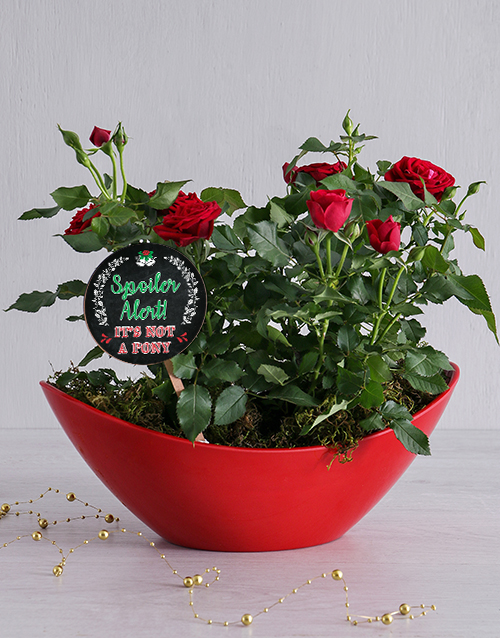 Spoiler Alert Red Rose Bush