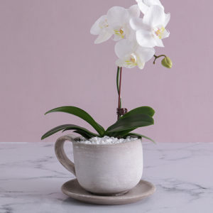 Midi Phalaenopsis Orchid in Ceramic Cup
