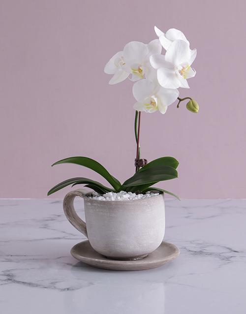 Midi Phalaenopsis Orchid in Ceramic Cup