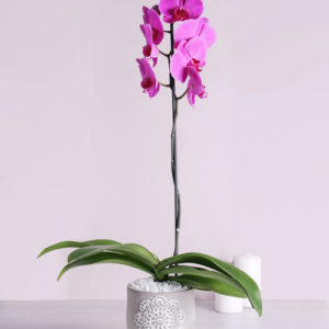 Phalaenopsis Orchid in Doilie Pot