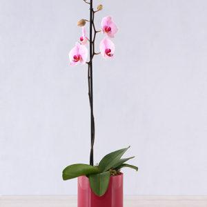 Orchid in Pink Cylinder Vase