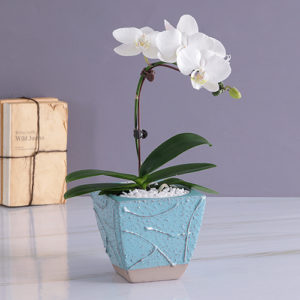 Single Phalaenopsis Orchid in Wrapping