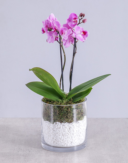 Midi Orchid in Cylinder with Stones