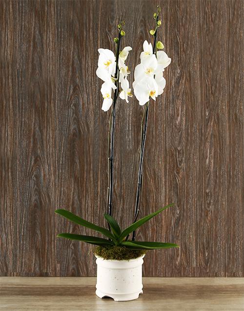Whisper Beijing Orchid Arrangement