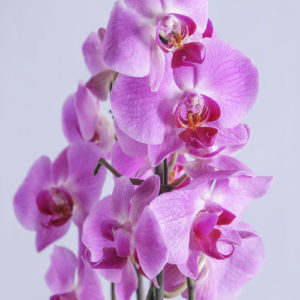 Pink Phalaenopsis Orchid in Pot
