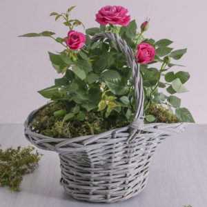 Rose Bush In A Basket