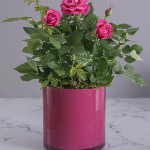 Cerise Rose Bush in Cylinder Glass Planter
