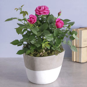 Cerise Rose Bush In Cement Feel Pot