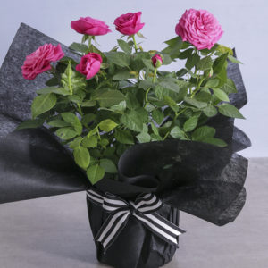 Elegant Cerise Rose Bush Wrapped In Black