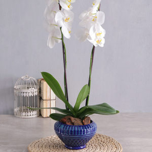 Phalaenopsis in Blue Diamond Pot