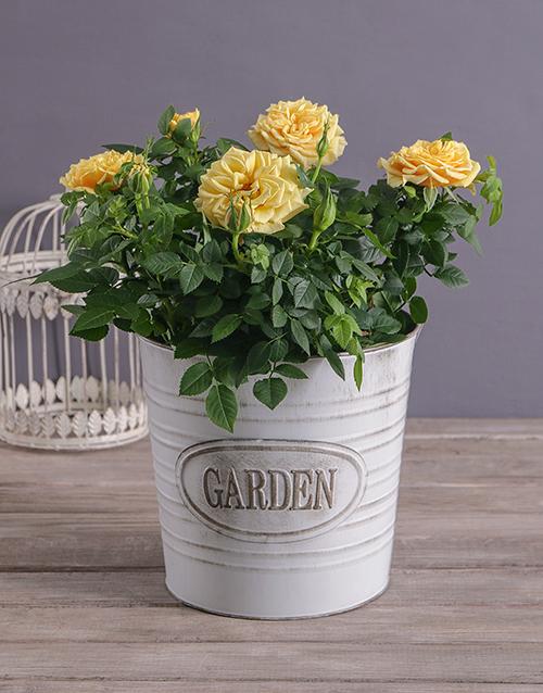 Cheerful Yellow Rose Bush