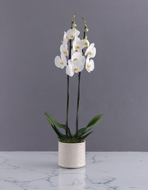 Two Stemmed Creamy Orchid