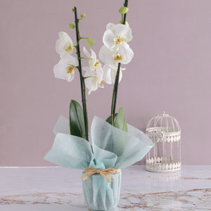 Two Stemmed Orchid In Blue