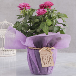 Cerise Rose Bush In Purple Wrap