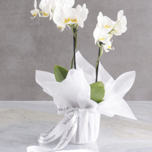 White Midi Sympathy Orchid