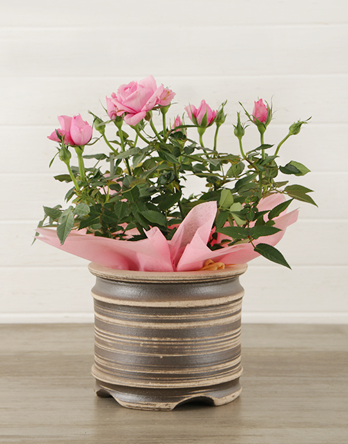 roses 14cm Potted Rose Plant