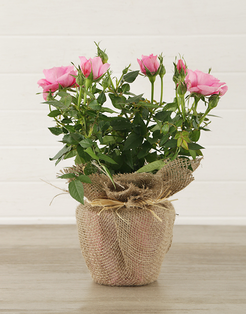 roses Pink Rose Bush in Hessian Wrapping