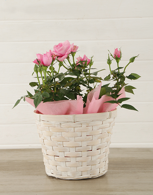 roses Pink Rose Bush in Planter