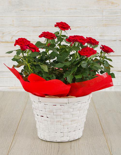 Red Rose Bush in Planter