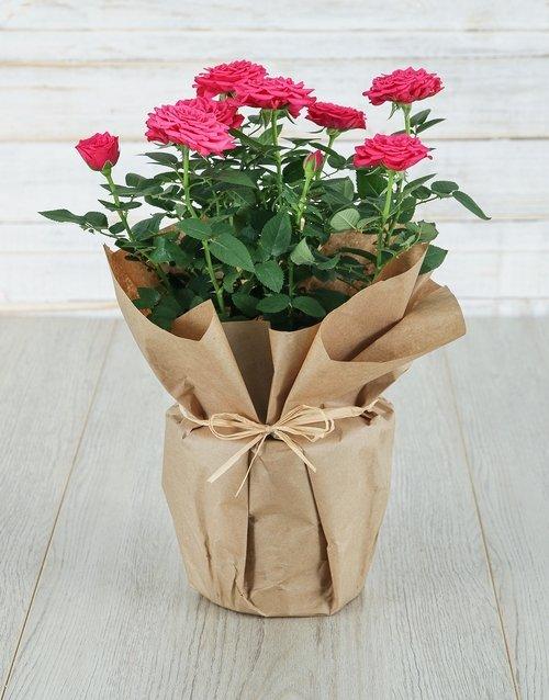 roses Cerise Rose Bush in Craft Paper