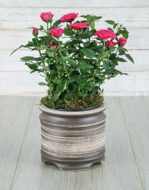 Cerise Rose Bush in Ceramic Pot