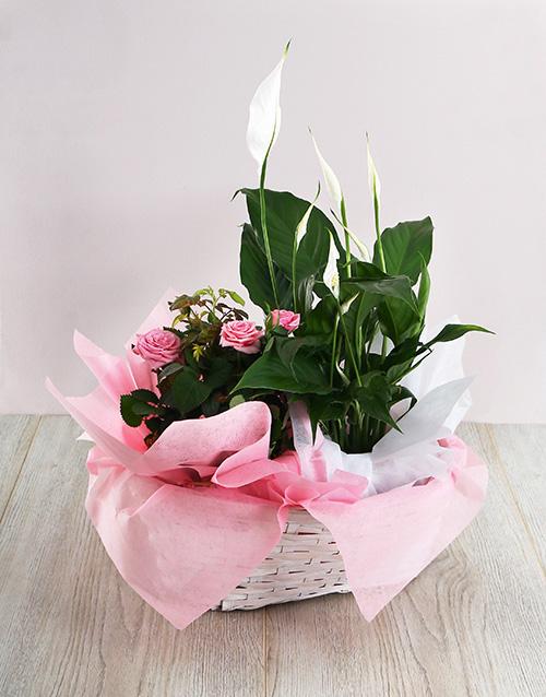 roses Basket of Spathiphyllum and Rose Bush