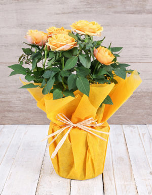 Yellow Rose Bush in Wrapping