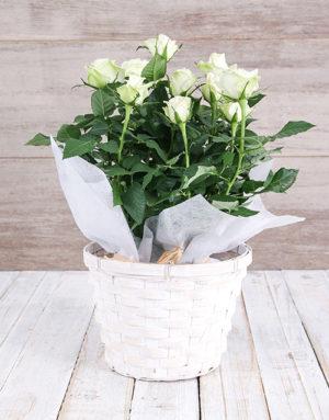 roses White Rose Bush in Planter