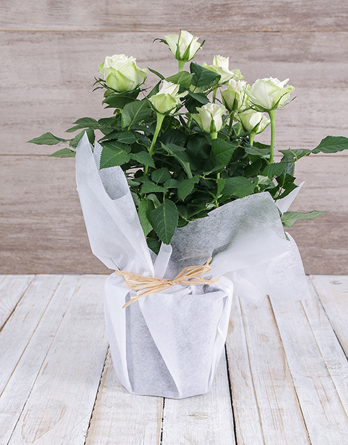 roses White Rose Bush in Wrapping