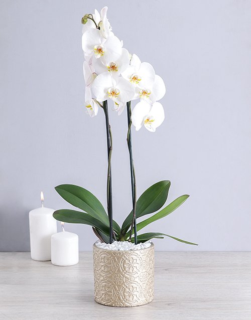 orchids White Phalaenopsis Orchid in Round Pot