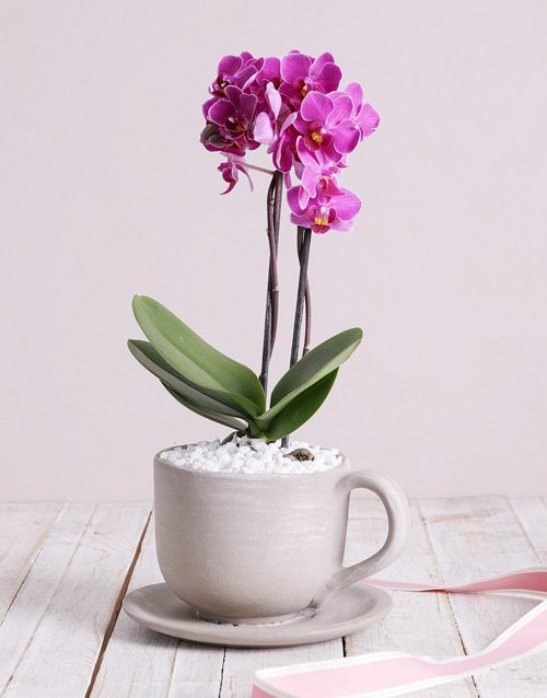 orchids Midi Phalaenopsis Orchid in Ceramic Cup